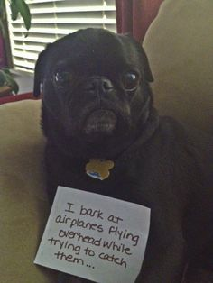 """""""I bark at planes overhead, while trying to catch them."""" 100 Best Dog Shaming Moments Black pug"""