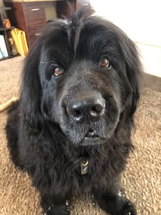 Newfoundland Dogs, Gentle Giant, Dog Breeds, Animals, Animales, Animaux, Animal, Animais, Horse Breeds