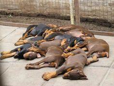 "Doberman puppies training to ""play dead"" =)"