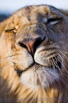 Contented Lion