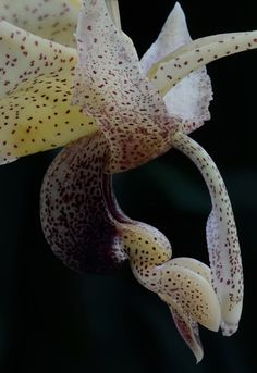 closeup Stanhopea platyceras ABG 2008-1082