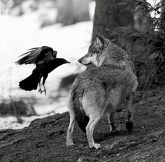 The Crow & the Wolf by Mauro Pasquero