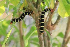 Plumeria Pest Problems – Learn About Pest Control For Plumerias Slugs In Garden, Garden Bugs, Garden Insects, Garden Pests, Organic Insecticide, Organic Pesticides, Diy Pest Control, Insect Pest, Patio Plants
