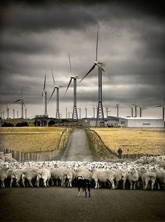 Sheep farming at  the wind farm. Tararua Ranges, Manawatu