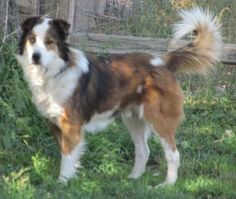 OZZY is an adoptable Australian Shepherd Dog in Rio Rancho, NM. NEEDS FOSTER & is also available ADOPTION!! OZZY is what we here at NMDDB call a MIRACLE DOG!!  OZZY is deserving of a very special loving forever home! If you want to make OZZY's future AMAZING email us at adopt@nmddb.org