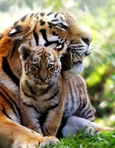 Tiger mom with baby.