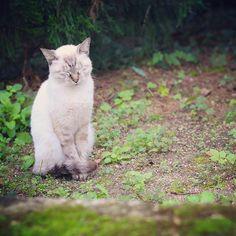 【atsuge】さんのInstagramをピンしています。 《にゃんこちゃん #京都府立植物園 #京都植物園 #猫 #ねこ #にゃんこ #にゃんすたぐらむ  #森 #自然 #動物 #撮影 #写真 #カメラ #キャノン #可愛い #写真好きな人と繋がりたい  #写真撮ってる人と繋がりたい  #cat #cute #love #forest  #green #animal #photo #photography  #canon #pic #kyoto #japan》