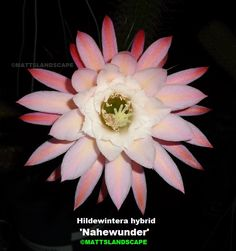 Hildewintera hybrid 'NAHEWUNDER'  Grow this plant! Order at Epicacti.com