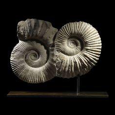 Ammonite Commune on Bronze Plinth Base #ammoniteonbase #homedecor #interiordesign #livingspace