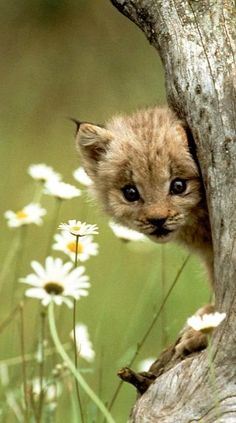 Gotcha! This tiny Lynx kitten plays hide and seek with us.