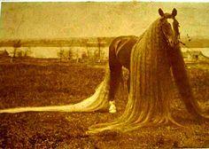 Линуc конят c най-дългата опашка и грива - Първи Български Зоопортал
