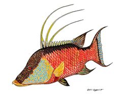 Hogfish done with posca pen markers on white vellum paper -  donated to the Blue Wild and auctioned off for charity