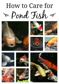 How to Care for Your Pond Fish                                                                                                                                                                                 More
