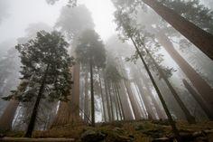 Sequoias! Someday, I will hug one of you.