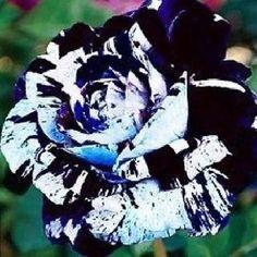 200 Blue Waldorf Rose Seeds rare color good for cut flowerbeautiful flower Beautiful Rose Flowers, Beautiful Flowers Pictures, Unusual Flowers, Rare Flowers, Amazing Flowers, Flowers Nature, Beautiful Dragon, Dragon Rise, Climbing Roses