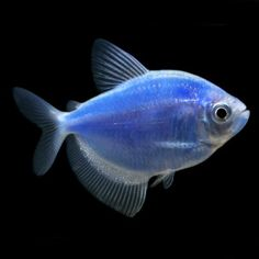1000 images about glo fish care on pinterest tetra fish for Petsmart fish guarantee