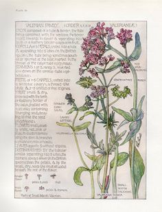 Valerian- Wild Flower Botanical Print by Isabel Adams - Antique Print in Art, Prints, Antique (Pre-1900) | eBay