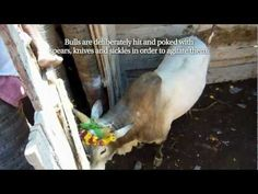 Urgent: Urge the Indian Authorities to Keep Bulls Protected   Action Alerts   Actions   PETA