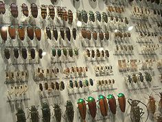Insect collecting - Wikipedia, the free encyclopedia