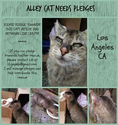 lizardmarsh: Inglewood CA (Los Angeles): YOUNG ABYSSINIAN-LOOKING CAT, SUPER FRIENDLY, ON STREETS, NEEDS RESCUE, VET CARE pledges needed