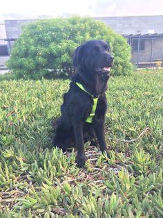 #Freya #Golden #Dog #BlackDog #Grass #GoToWalk #LoveAnimals #MyMonsters