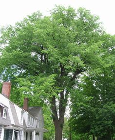 A Nostalgic and Fast Growing Shade Tree - Experience a piece of history with the American Elm. In the early days of American neighborhoods, Elm trees lined the streets of almost every town across the nation. A terrible diseased wiped out the Elm population by the 1950s. Now, with disease resistant cultivation, you can enjoy a...
