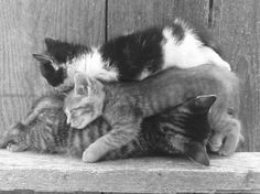 Oh so tired! Crazy Cat Lady, Crazy Cats, Cat 2, Dog Cat, Beautiful Kittens, Photo Chat, Cats And Kittens, Kitty Cats, Belle Photo