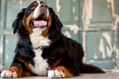 Uta - Bernese Mountain Dog