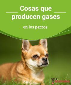 Cosas que producen gases en los perros Las flatulencias y gases en los perros pueden ser leves, pero también derivar en problemas serios. Sus síntomas son similares a las provocadas en humanos. #salud #gases #perros #problema