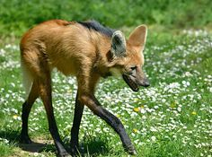 Maned Wolf | 23 Dumb Animals That I Can't Believe Are Really Real