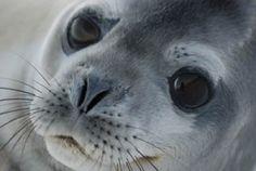 Las focas habitan las regiones costeras de buena parte del globo. Tienen cuerpos alargados y fusiformes, adaptados a la natación; las extremidades anteriores son cortas y aplanadas, mejor preparadas para su uso como aletas que para el desplazamiento en tierra, aunque algunas especies pueden moverse a gran velocidad empleando movimientos de reptación.
