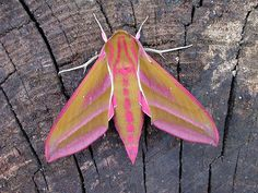 A striking example of the elephant hawkmothPhotograph: Shane Farrell/Butterfly Conserva/PA