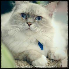 Regal cat.  #cameranapp #cameran   @cameran_jp @cat_miysis     #gato #gatto #cat #catlover #chat   #catsofinstagram #katsofinstagram  #neko #kitten #kitty #friendlypets   #photocat #pet   #sony #sonycamera #sonyalpha   #猫カフェ #catcafe #伊勢佐木町  #yokohama #Kanagawa - @truedragonfly- #webstagram