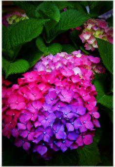 Beautiful Hydrangea Flowers in pink, purple & blue. Hortensia Hydrangea, Hydrangea Flower, Hydrangeas, Hydrangea Shrub, Amazing Flowers, Colorful Flowers, Beautiful Flowers, Flowers Nature, Dream Garden