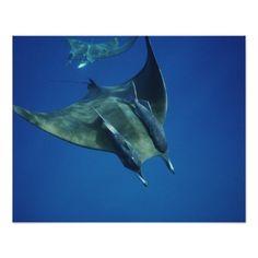 Manta Ray, #sea_creature Cocos Islands, Indian Ocean Poster