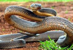 Brown snake. Australia's most deadly