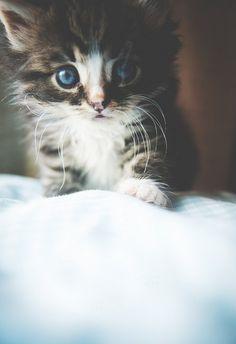 Kitty Blue Eyes
