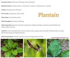 Plantain herb is one of our most versatile medicinal plants. It heals many types of wounds, takes the swelling and sting out of a variety of insect bites, and can even be used for dry coughs and mucus membrane inflammation.
