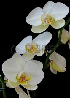 White Orchids on Black background  Stock Photo
