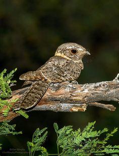 Antrostomus ridgwayi - lelkowiec brązowoszyi - Buff-collared Nightjar