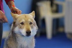 Oblivion di Fossombrone 1º Ecc. CAC CACIB BEST OF BREED alla Expo' Internazionale Canina di San Marino 2019 🇸🇲🐺🏆 #idsSanMarino Dog Show, Corgi, Animals, Corgis, Animales, Animaux, Animal, Animais, Dieren