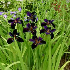 Black Gamecock Louisiana Iris