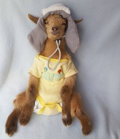 Tiny Goat Whose Horns Were Burned Off Recovers In Cozy Hats Cute Funny Animals, Funny Animal Pictures, Cute Baby Animals, Funny Images, Tiny Goat, Cute Goats, Funny Goats, Baby Goats, Cute Creatures