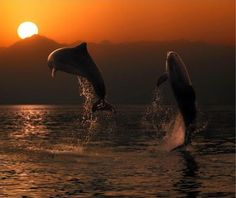 Dolphins at Sunset in Mediterranean Sea