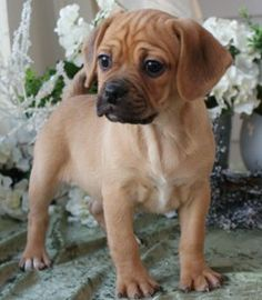 Top 20 Beagle Hybrids. Puggles #4!! I love my Bella dog. :)