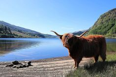 Its been pretty sunny recently in Scotland and weve all been enjoying the sunshine  as you can see in the photo from @dycey2787! Happy #Coosday!  #coo #Highlandcoo #Highlandcow #LochLubnaig #loch #LochLomondandTrossachs #NationalPark #Scotland #LoveScotland #ScotSpirit #VisitScotland by visitscotland