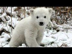IJsbeer, heb je 't niet koud? - YouTube