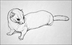 A Weasel by nikkiburr on DeviantArt Anime Art Fantasy, Art Drawings For Kids, Amazing Drawings, Art And Illustration, Animal Sketches, Animal Drawings, Chiara Bautista, Realistic Cartoons, Sketch Inspiration