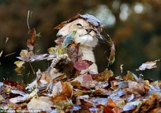 11-week-old lion cub, Karis, from Scotland's Blair Drummond Safari Park, plays in a pile of leaves