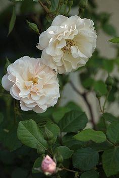 Hybrid Musk Shrub Rose: Rosa 'Inspektor Blohm' (Germany, 1942)
